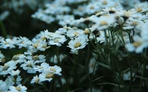 Flowers, Daisies, mood, tenderness