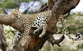 jaguar, arbre, Nature