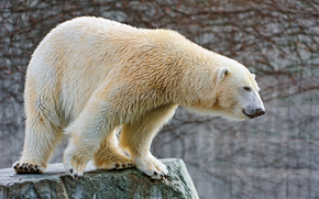 polar bear, bear, stone