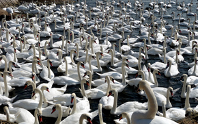 flock, White, Swans, Birds, sea, water, surface, neck, head, beak
