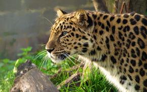 леопард, дальневосточный, морда, крадётся, профиль, трава