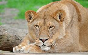 leone, leonessa, grugno, baffi, vista, piedi, riposo