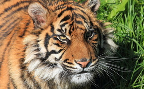 морда, взгляд, суматранский, усы, тигр, бакенбарды, кошка, трава