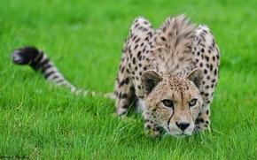 гепард, трава, крадётся, хищник
