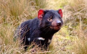 Tasmanian Devil, Tasmanian devil, marsupial