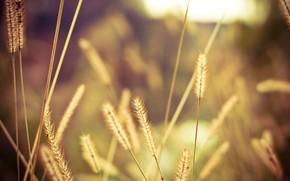 campo, spighette, luce, sole, Macro