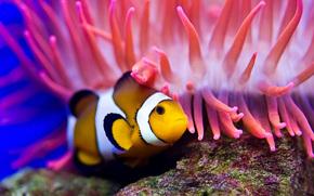 рыба-клоун, актиния, море, вода, дайвинг, океан, дно, камень