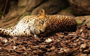 美洲虎, 猫, 休息