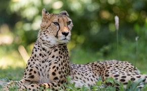 гепард, морда, лежит, смотрит, ушки дыбом