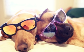 DOGS, Dogs, glasses, are, bed