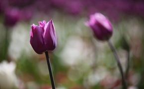 тюльпаны, цветы, боке