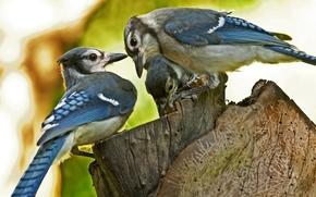 Uccelli, tre, Macro, sfocatura, moncone, moncone