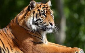tigre, grugno, profilo, riposo
