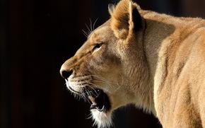 leone, leonessa, grugno, baffi, vista, grande gatto, sfondo nero