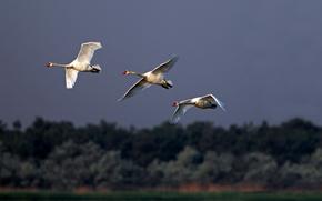 Uccelli, Bianco, Swans, trio, gregge, chiave, volo, ali, corsa, rozmah, orizzonte, foresta, cielo