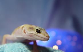 lizard, leopard gecko, gecko, spot, eye, eublefar, looks, interesting, beauty