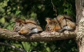 tree, branch, The Chipmunks, proteins, Rodents, pair, sleep, sleep