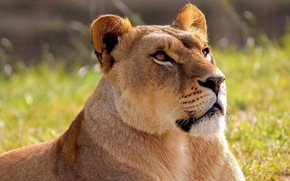 leone, leonessa, grugno, alzando lo sguardo