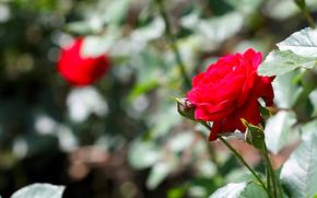 rose, Flowers, nature, summer, macro