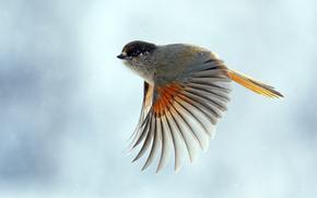背景, 空, バーディー, 袖, 羽, 脳卒中, 飛行, 羽, 尾, 鳥, ファン