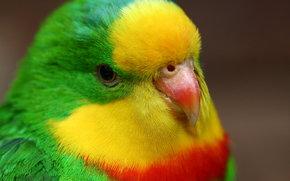 parrot, Parrots, bird, Birds, pretty