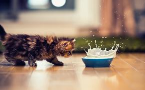 кошка, кот, котэ, котенок, миска, молоко, всплеск
