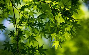 macro, spring, branch, foliage, maple, green