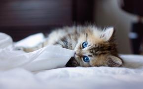 gatto, gatto, gattino, dagli occhi azzurri, Sacro di Birmania, razza, LETTO