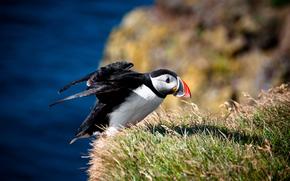 bird, Atlantic deadlock, blurring, grass