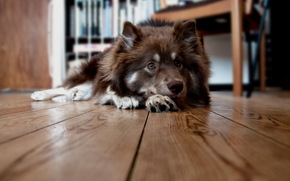 dog, floor, home