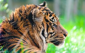 Суматранский тигр, хищник