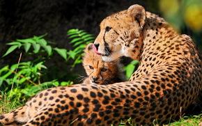 гепард, мама, мать, котёнок, отдых