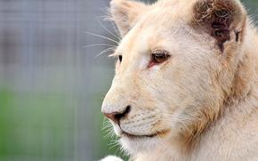 лев, белый, львёнок, альбинос, морда, профиль