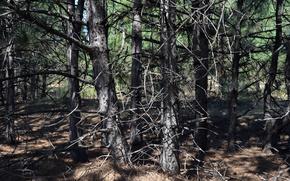 лес, дерево, сосна