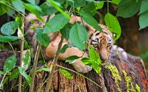 tygrys, Tygrys cub, ukrywanie, krzak, listowie