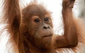 обезьянка, обезьяна, малыш, мордаха, животные