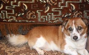 пёс, собака, красивая, смешная, диван, рыжий, глаза