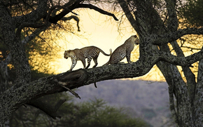 Leopards, tree, hischniki