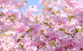 spring, sun, bloom, sakura