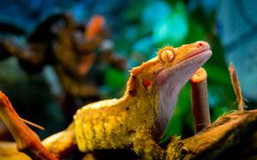 gecko, eye, lizard, yellow