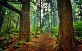 alberi, foresta, sentiero