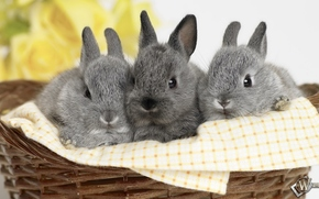 кролики, корзинка, малыши