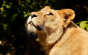 leone, leonessa, grugno, alzando lo sguardo, predatore