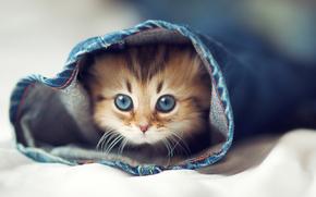 gatto, gatto, gattino, jeans, halosha, LETTO, occhi