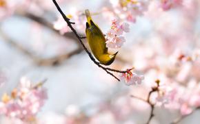 birdie, yellow, Grid, sakura, spring