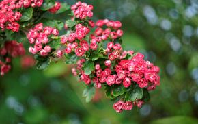 briar, Rose, bush, plant, blur. glare