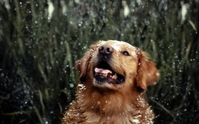 dog, Retriever, water, drops