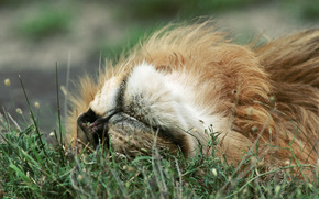 lion, recreation, grass, Relax