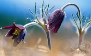 stem, Petals, macro, pestle, stamens, Bells