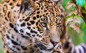 ягуар, морда, смотрит, крадётся, хищник
